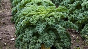grønkal sundhed