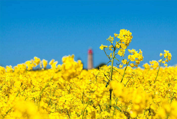 canola-flowers