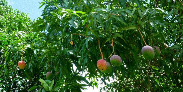 frugt på træer