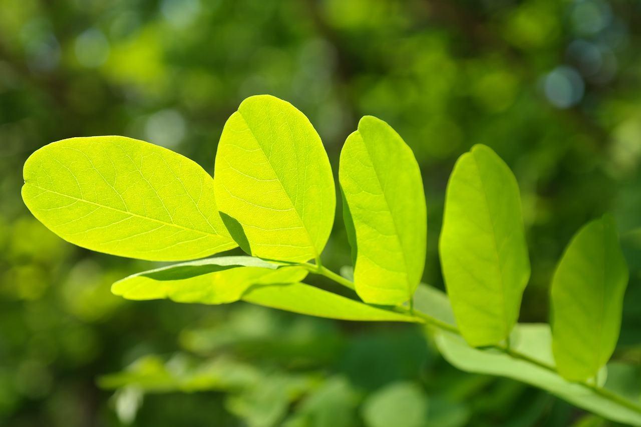 Klorofyl blad